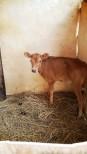 A curious calf at a One Acre Fund farm
